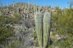 Saguaro-13