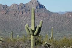 Saguaro-9
